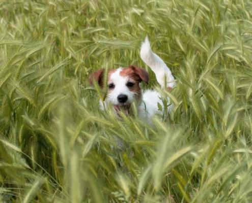 Las espigas peligrosas para los perros
